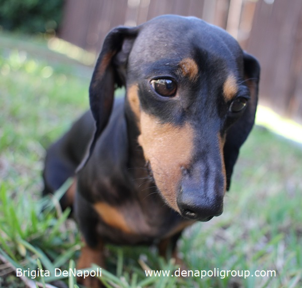 Black & Tan Miniature Dachshund