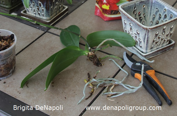 How to plant an orchid (2)