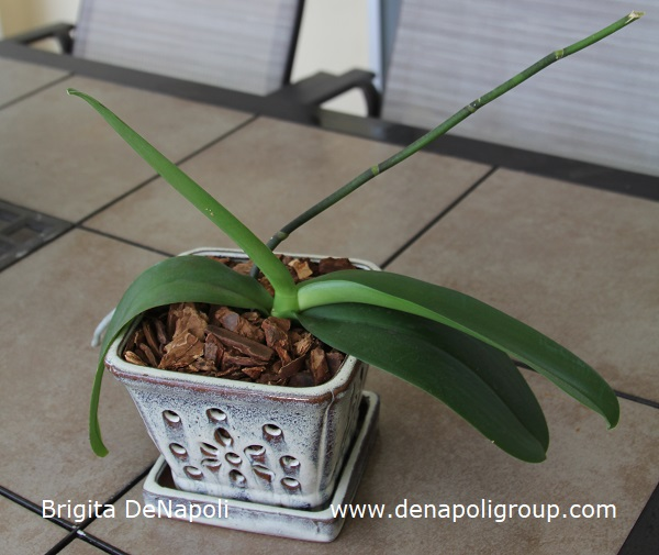 How to plant an orchid (4)